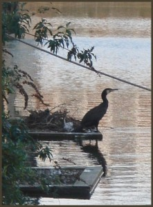 cormorant_in_battlebridge_basin1