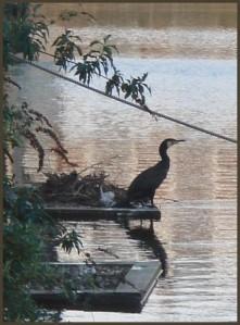 cormorant_in_battlebridge_basin1