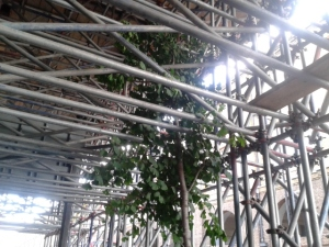York Way tree encased by scaffolding