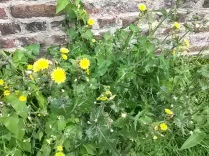 Dandelion (Taraxacum) yet to identify species