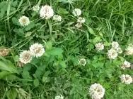 Clover (Trifolium) yet to identify species