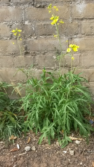 Perennial wall rocket (Diplotaxis tenuifolia)