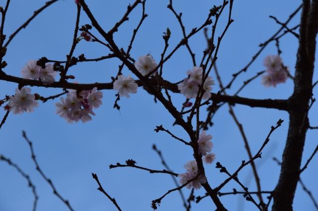cherry blossom argyle street