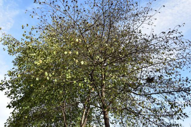 beech tree caledonian road