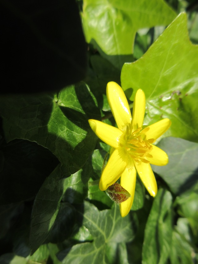 Celandine. Regent's Canal behind King's Cross station