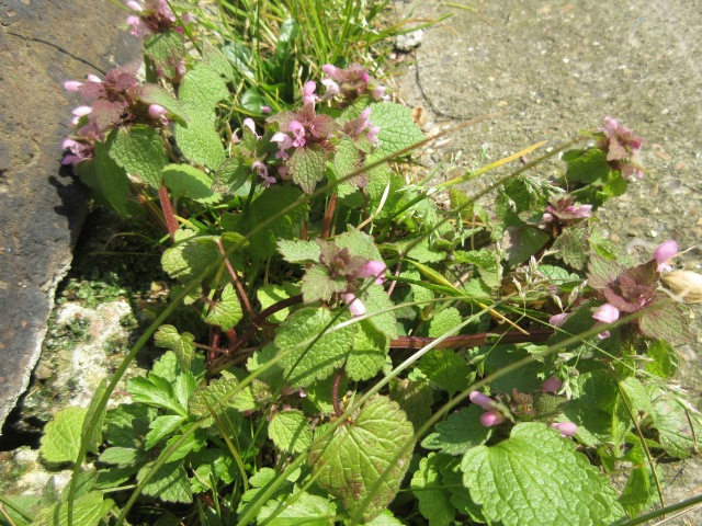 Dead Nettle, part of the mint family. Regent's Canal behind King's Cross station