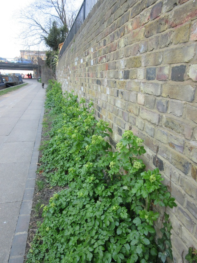 I think these are Alexaxders, Smyrnium olusatrum. Regent's Canal behind King's Cross station.