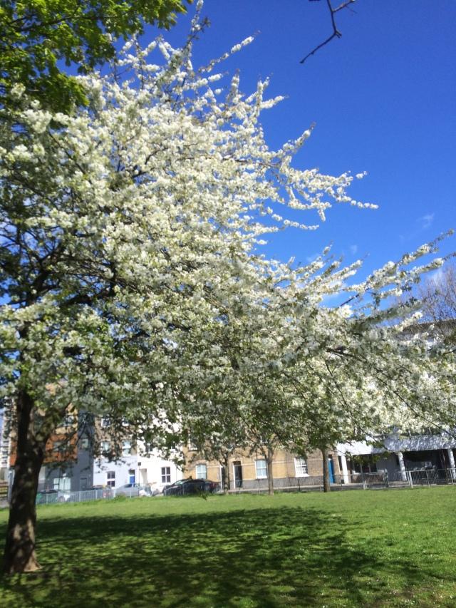 bingfield park blossom