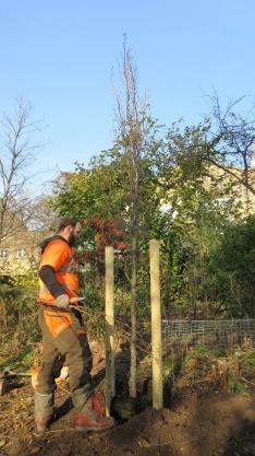 Beech Tree in Thornhill Bridge community gardens.